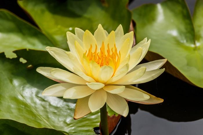 科名:スイレン科 開花期:6~11月 分類:水生草本 スイレンは池や沼地等で生息する水生植物です。葉や花を水面に出し、水中の土の中に根を張ります。スイレンには熱帯スイレンと温帯スイレンがあり、どちらも夏から秋にかけて開花します。スイレンの花色は黄色の他に青や紫、ピンク、白等があります。