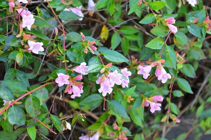 アベリアの花色は白色の他にピンク色があります。アベリアは葉の色も豊富で、光沢のあるグリーンや、白斑や黄斑が入るもの、赤く紅葉するものなど、多様です。
