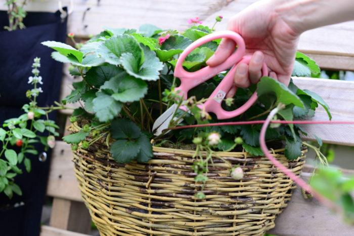 親株に栄養を蓄えさせてイチゴの実を美味しく育てるためには、ランナーを摘み取ると良いでしょう。伸びてくるランナーを摘み取る場合には、付け根から剪定しましょう。