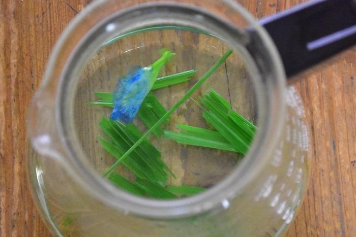 お茶が色づきだすと、バタフライピーの花はどんどん青い色が抜けてきます。