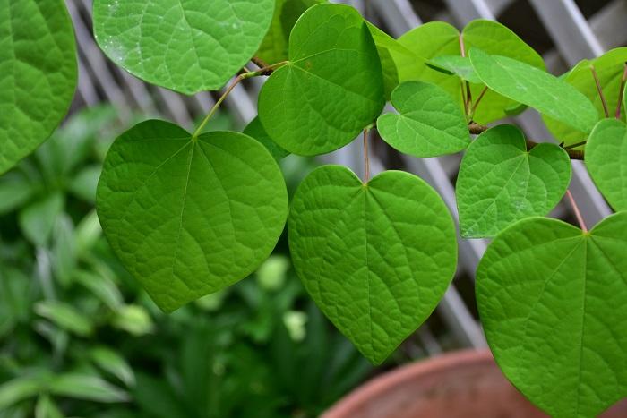 植物名:マルバノキ 学名:Disanthus cercidifolius 和名:ベニマンサク、丸葉の木 科名:マンサク科 属名:マルバノキ属 分類:落葉低木 花期:11月  マルバノキは、丸みを帯びたハートの形をした落葉低木です。マンサクの花に似た赤い花を咲かせるため、ベニマンサクの別名があります。