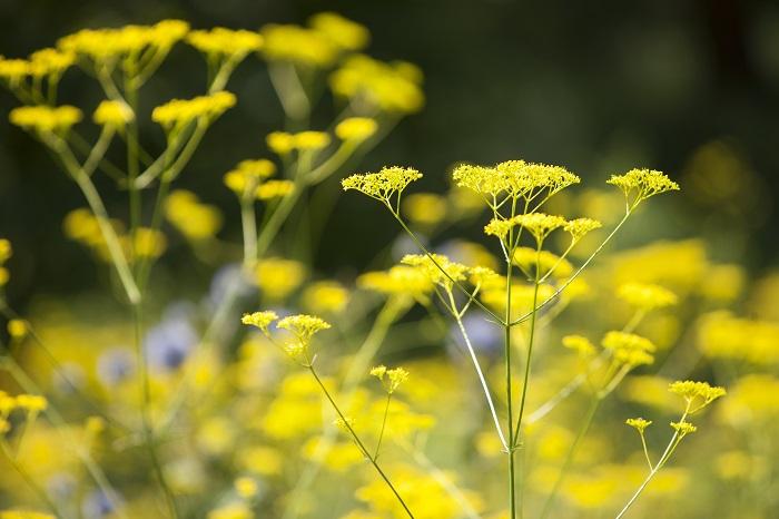 科名:スイカズラ科 開花期:6~10月 分類:多年草 オミナエシは秋の七草にも数えられる、秋に黄色い花を咲かせる多年草です。早咲き種は6月頃から開花しますが、見頃を迎えるのは秋です。オミナエシの花には独特の香りがあります。