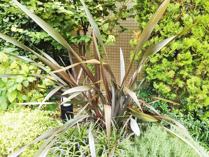 キジカクシ科  耐寒性多年草  草丈:60~300㎝  ニューサイランは、ニュージーランド原産で黒に近い銅葉からオレンジ、ピンク、イエローの斑入りなどの園芸品種が多数あります。暖地では放任でも大株になりますが、梅雨の過湿や冬の寒風が苦手なタイプもあります。
