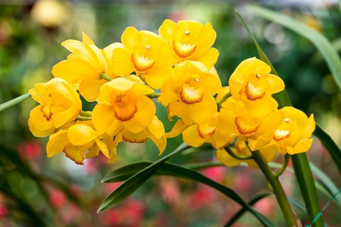 科名:ラン科 開花期:12~2月 分類:多年草 シンビジウム常緑性で半着生のランです。花びらが5枚の大きな花を咲かせます。開花期間が長いのも人気の理由です。シンビジウムの花色は黄色の他に、白、ピンク、オレンジ、グリーン等があります。