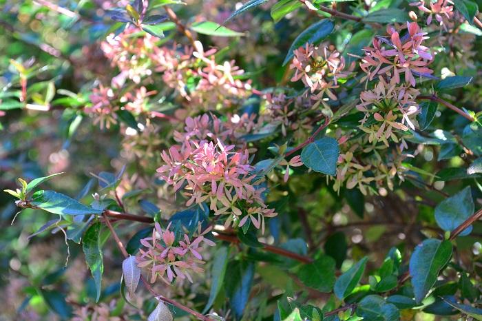 アベリアの魅力は花だけではありません。アベリアは萼片も魅力的なフォルムをしています。アベリアには種ができないようです。その為、アベリアの花が終わった後には萼片が残ります。花が咲いていた時と同じように枝の先に残る萼片の塊は、それもまた違う花のようで、とても可愛らしく見えます。
