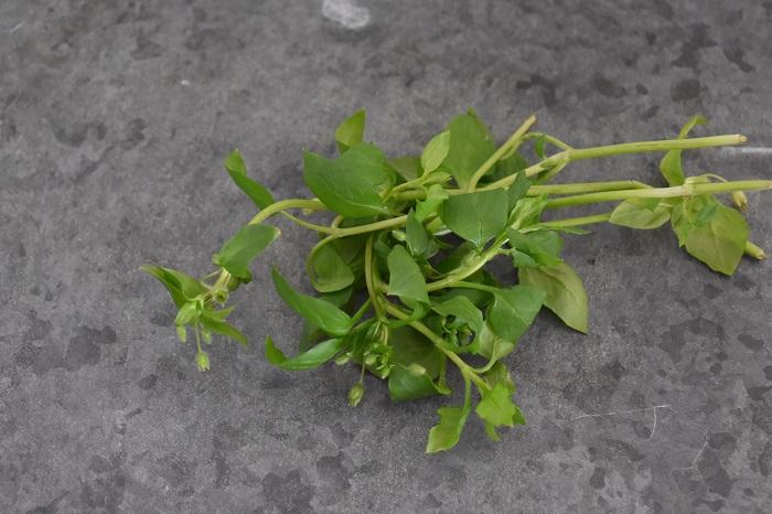 コハコベ (小繁縷)学名:Stellaria media (ナデシコ科)  ハコベラ、アサシラゲとも言います。  10~20㎝ほどの小さな草で、古くから食用として親しまれていて、現在でも鶏などの餌として使われていたりします。小さいながらもマーガレットのような白と黄色の花はかわいらしく、けなげな感じです。そのけなげな印象とは裏腹に繁殖力が大変強く、畑などでは注意が必要です。