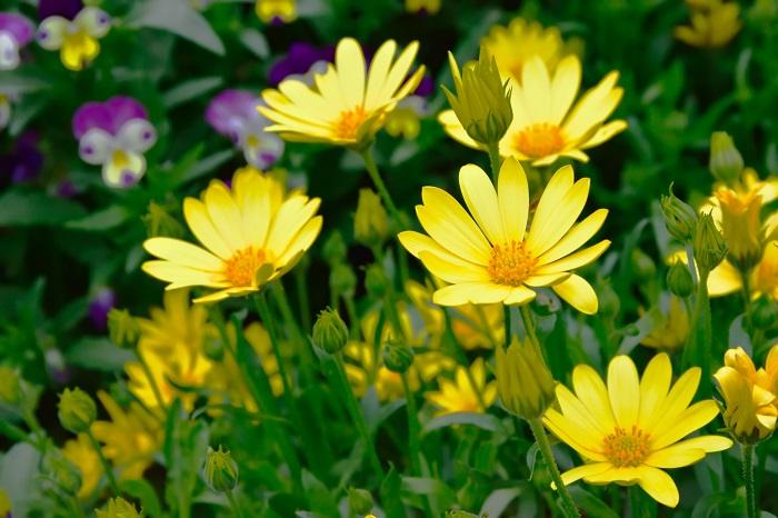 科名:キク科 開花期:11~5月 分類:常緑低木 ユリオプスデージーは黄色のデージーのような花を咲かせるキク科の常緑低木です。草花のような風情ですが、生長すると大きな株となり、根元の茎は木質化します。ユリオプスデージーは明るい黄色の花と銀葉のコントラストが美しい植物です。