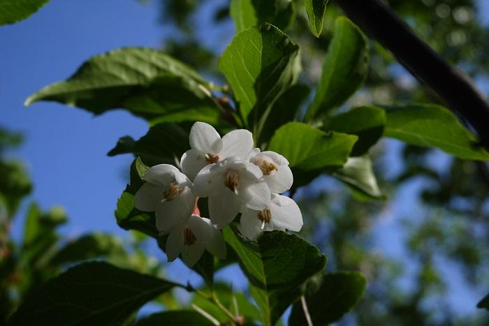 エゴノキの花の咲く季節は4~5月、季節で言うと春から初夏にかけてです。桜(ソメイヨシノ)の花が終わって、大分暖かさを感じるようになった頃から、エゴノキの花は咲き始めます。  エゴノキはまず春に若葉が芽吹き、それから花が咲くので、新緑の瑞々しさと花の可憐さを同時に楽しめる庭木です。  エゴノキの花は長い葉柄を持ち、枝の先にぶら下がるように咲きます。一つの枝の先に複数の花を咲かせ、さらに枝は細かく枝分かれしているので、開花期には花で枝がいっぱいになります。エゴノキの花色は白花が主流ですが、ピンク色の花を咲かせる品種もあります。  エゴノキの花は星形のような形状をしていて、風に吹かれて散る際にはくるくると周りながら落ちていく姿も可愛らしく、見ていて飽きません。