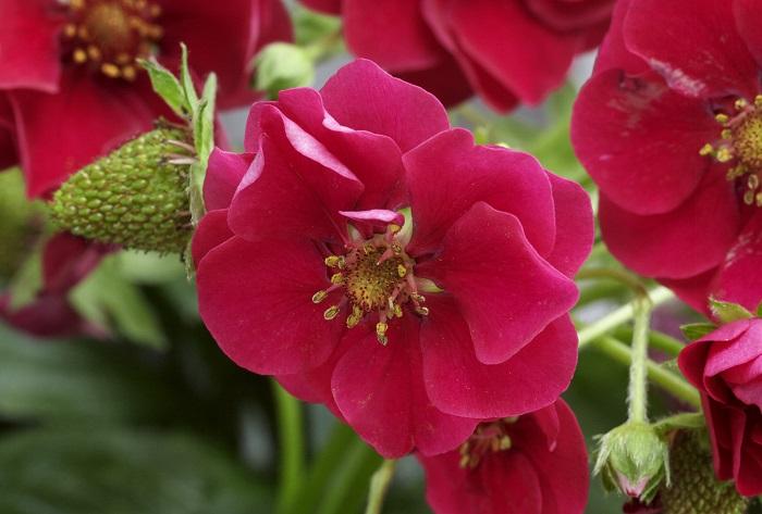 昨年も、編集部オフィスで育てたローズベリー・レッド。花の色やカタチが本当にきれいで、花を観賞するだけでも楽しみのイチゴです。