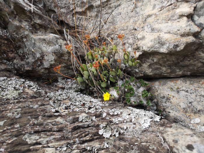 更に頑張って岩肌を登るとアロエやカランコエが岩の間から顔をのぞかせてくれる。その美しさは鉢植えとは格段に違い抜群である。