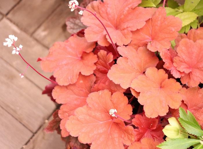 ヒューケラは色彩が豊富で、紫、赤、茶、カーキ、銀灰色、ライムなどがあります。