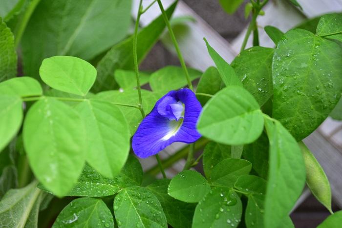 バタフライピーはフレッシュでも生でも利用できます。バタフライピーの花の販売は主に乾燥したドライハーブとして流通しています。フレッシュとしての流通は一日花なこともあり、ごくごくわずかかもしれません。