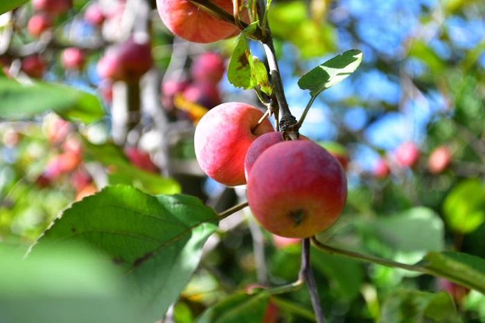 グリーンの葉に赤い実は補色の組み合わせでとても目を惹きます。春から初夏の若葉の季節の赤い実も、秋から冬の葉が落ちてから枝に残る赤い実も、どちらも美しく見ごたえがあります。赤い実のなる木をお庭のシンボルツリーとして迎えれば、家族の記憶にも残るでしょう。  赤い実のなる木は身近にもたくさんあります。赤い実がなる木を探してみませんか。