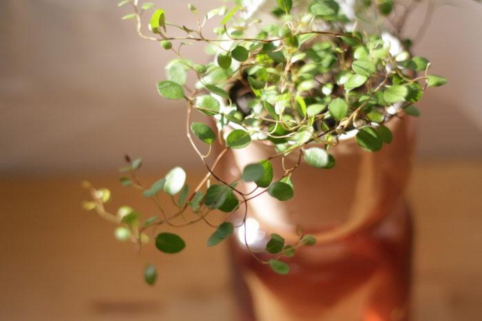 ワイヤーのような美しい曲線の茎に、丸くて小さな葉がついた可愛らしいつる性観葉植物「ワイヤープランツ」。生育旺盛でつるを伸ばしていくにつれてインテリアグリーンとしての魅了くも増します。  育てやすい植物ですか葉が゙乾燥が弱点。そのため、水場があるキッチンは葉水をかけやすいので、おすすめの置き場所。お気に入りのキッチン雑貨と一緒に飾りたくなる植物です。