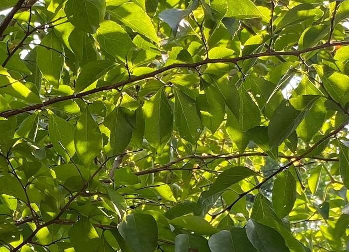 エゴノキは春の新緑が非常に美しい庭木です。エゴノキの葉は楕円形で長さ4~8cm程度、縁に細かなギザギザがあります。葉の付き方は互生で、表面はあまり光沢がありません。