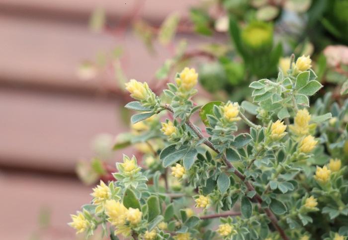 マメ科 耐寒性多年草  樹高:30~60㎝  ロータス・ブリムストーンは、クリームイエローの新葉が美しいカラーリーフ。葉がやわらかくふわふわとしている質感で、枝先からの葉色のグラデーションがとてもきれいです。初夏にピンク味を帯びた白色の小花が咲きます。湿気を嫌うので、土の表面が乾いてから根元に水をあげましょう。