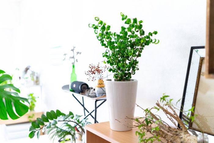くるくるカールした葉っぱが大人気の観葉植物ベンジャミン・バロック。北欧テイストのインテリアとも相性抜群。テレビ台や本棚、床など、飾った空間で存在感を放ちます。  分枝しやすい品種でもあるので、樹形が崩れてきたら定期的に剪定しましょう。形を整えるとお部屋の雰囲気も少しだけ変わり、リフレッシュにも。ベンジャミンバロックの剪定は、お部屋のプチ模様替えに近い感覚で楽しめるかもしれません。