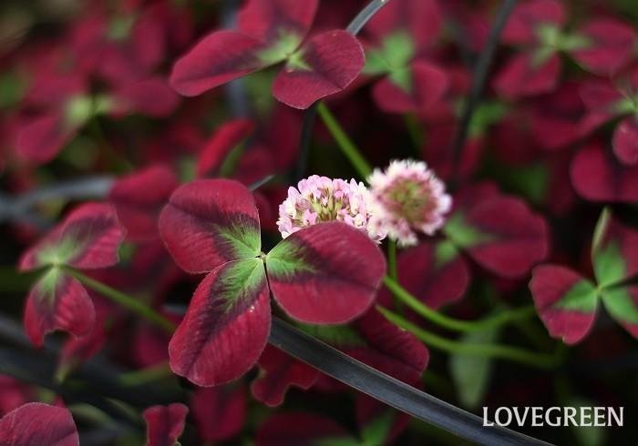 カラーリーフとは、カラーリーフプランツを省略した言葉(和製英語)です。  植物の葉っぱの色といえばまず緑色をイメージしますが、カラーリーフプランツは、緑色以外の葉色をした植物の総称のことを言います。カラーリーフプランツには、赤・紫・銅葉(ブロンズ)、黄色(ライム)、銀色(シルバー・白)、斑入りの葉など様々な美しい色の葉があります。花が咲くカラーリーフプランツもありますが、花よりも葉色を楽しむために使われているものが多いです。