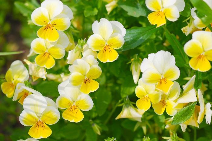 科名:スミレ科 開花期:10~5月 分類:一年草 ビオラは秋から翌春まで長期間開花する一年草です。花の少ない冬に色とりどりの花を咲かせてくれる、ガーデニングの強い味方です。ビオラの花色は黄色の他に白、紫、ピンク、赤、オレンジ、さらには複色まであります。