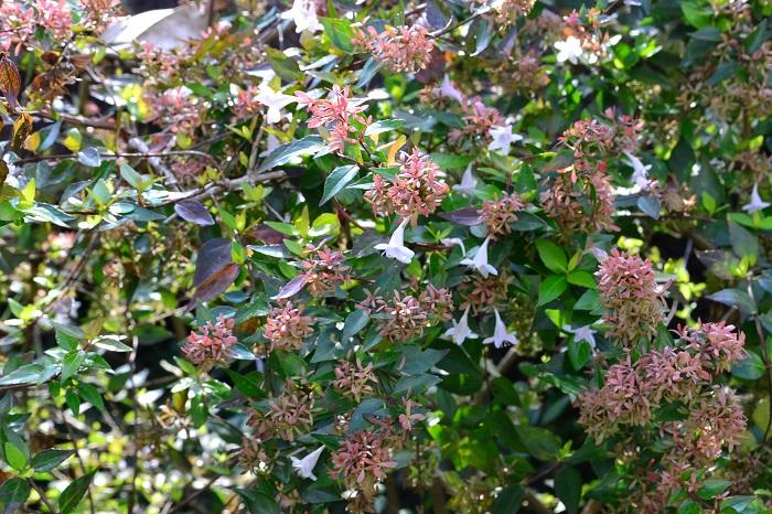 アベリアの花は春から咲き始め、秋まで咲き続ける四季咲きです。真冬以外はほとんど花を望めると言っても過言ではありません。桜(ソメイヨシノ)が咲き終わった頃から咲き始め、ニットを羽織りたくなるくらい寒くなるまで咲いています。