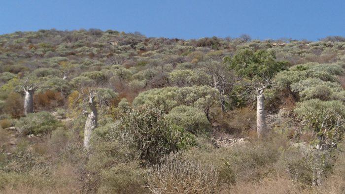 その他に植物園から車で約30分の海岸沿いにモリンガの群生を見ることができる。ここは海岸沿いで石灰岩土壌のため、モリンガもタル型になっており、ユニークなものが多くあった。