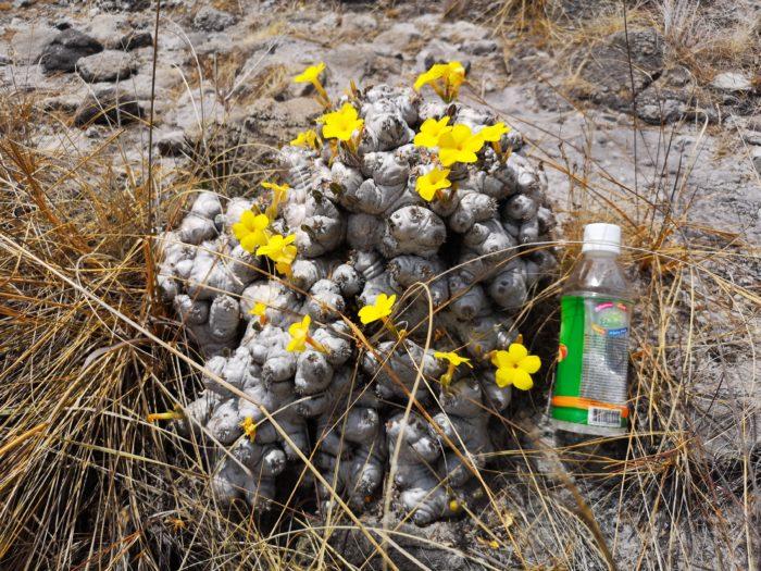 山頂近くにはパキポディウムがきれいな花を咲かせて自生している。普段は鉢植えでしか見られない希少な塊根植物が自生していることを見ることができ、感動極まりない。趣味家にとってはたまらないであろう。