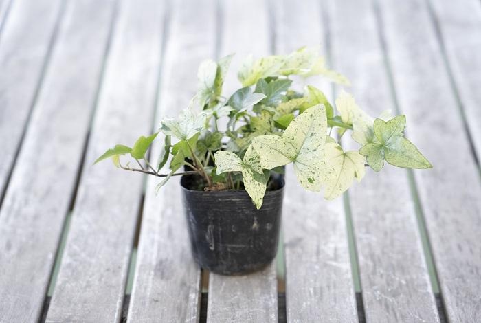 ウコギ科 耐寒性常緑木本  草丈:15~200㎝  アイビー(ヘデラ)白雪姫は寒い時期に新しい葉が白くなり、雪が積もったように見えます。グリーンと白の葉のグラデーションが上品で美しく、株分けして寄せ植えのアクセントに使うこともできます。一般的なアイビー(ヘデラ)より少しデリケートですが、強い霜が当たらなければ屋外で越冬できます。真夏の直射日光で葉焼けをおこすことがあるので、真夏は半日陰か室内の明るい場所に移動させてあげると葉が美しく育てられます。