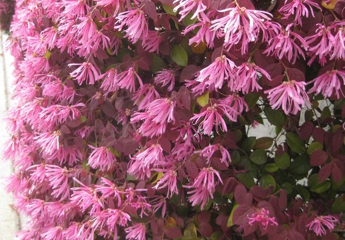 マンサク科 耐寒性常緑高木  樹高:1~3m  ベニバナトキワマンサクは、葉が銅葉色で花が咲かない時期も葉色を楽しめ、生け垣づくりにとても人気があります。卵型の小さな葉と春に咲く細いリボンのような花が特徴です。剪定後の芽吹きも良いので安心して刈り込めます。