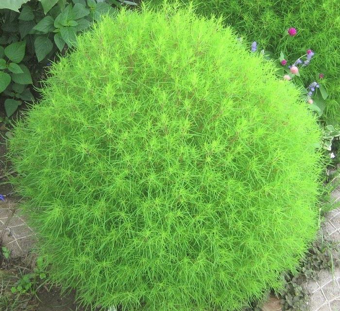 コキア(ホウキギ)は春から夏、このような明るい緑色の草姿をしています。日当たりと風通しの良い場所を好みます。