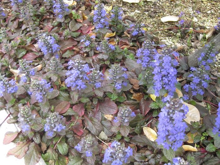 シソ科 耐寒性多年草  草丈:5~20㎝  アジュガは半日陰を好み、地面を這うように横に広がって育つカラーリーフ。春にブルーの花を咲かせ、初夏に多数のランナーをつけて子株をつけます。株分けで簡単に増やすこともできます。寒さに強く常緑で冬越ししている姿をよく見ます。