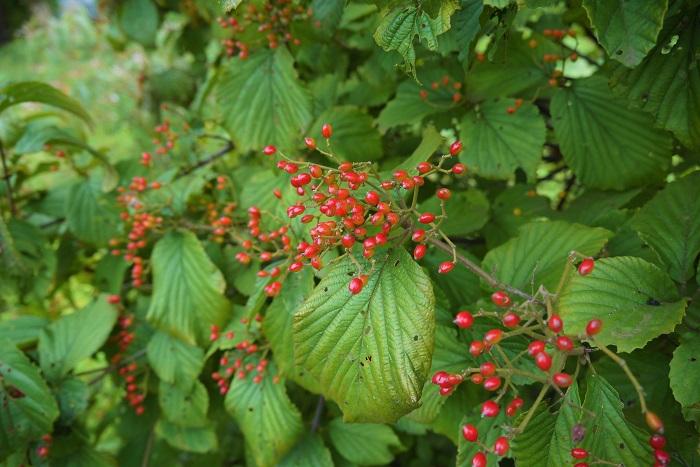 分類:落葉高木 結実期:10月 ガマズミは春に真白な花を咲かせ、秋に真赤な実を付ける、レンプクソウ科の落葉高木です。秋に実る赤い果実は、小さな実を集合させたような形状をしていて、秋の陽射しに照り輝く姿は宝石のようです。ガマズミの果実は酸味が強く、生食には向きません。果実酒などに利用されます。