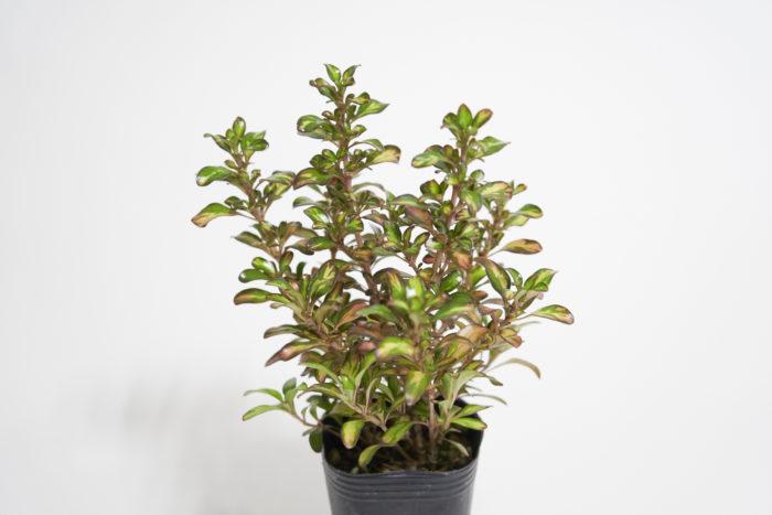 アカネ科 半耐寒性常緑低木  樹高:20~80㎝  コプロスマは光沢のある葉が特徴のカラーリーフ。冬に紅葉して美しくなるタイプや、明るい茶色の小葉が密集するタイプなどがあります。丈夫で育てやすいのですが、寒さにはあまり強くないので軒下などで上手に冬越しできると周年楽しめます。