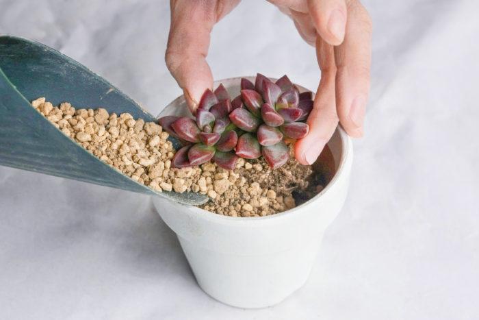 4.多肉植物を鉢に入れます。周りに土を流し入れて多肉植物を安定させましょう。