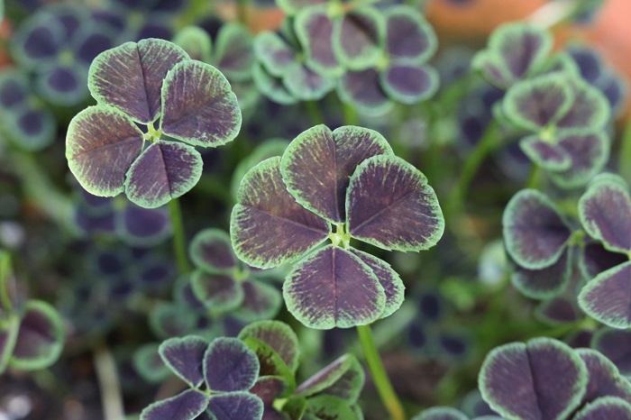 クローバーは赤葉や黒葉、白っぽいグリーンなど様々あり、四つ葉もあります。色違いの株を数種類合わせて植えてもとても美しい植栽になります。
