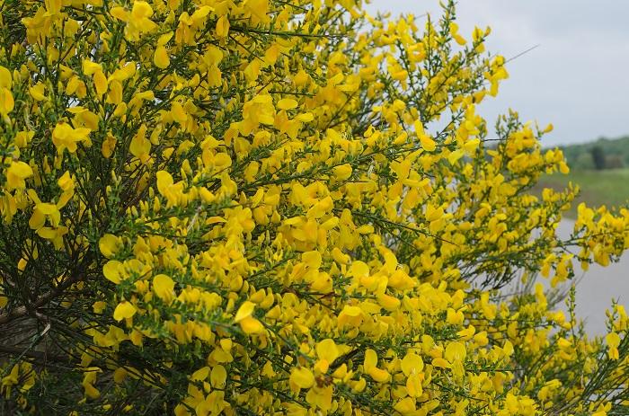 科名:マメ科 開花期:常緑低木 分類:4~5月 エニシダは柳のように枝垂れる枝いっぱいに黄色の花を咲かせる低木です。低木といっても2~3mほどまで生長します。エニシダの花色は黄単色の他に、黄色と赤の複色の品種もあります