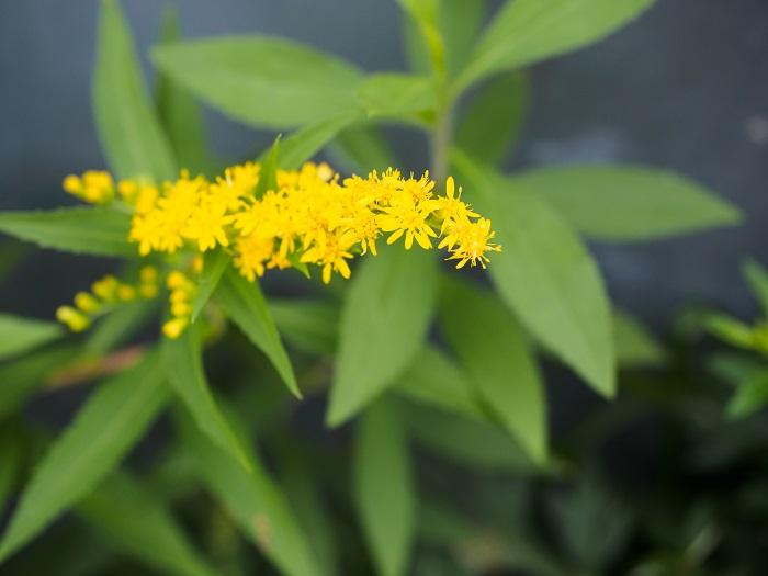 科名:キク科 開花期:8~11月 分類:多年草 アキノキリンソウは黄色の小花をたくさん咲かせるキク科の多年草です。アキノキリンソウの花は晩夏から秋の間楽しめます。