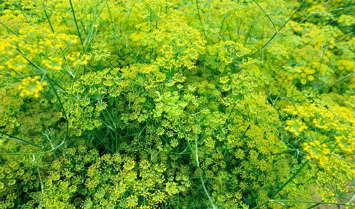 科名:セリ科 開花期:5~7月 分類:多年草 フェンネルは魚料理等に使われる香りのよいハーブです。初夏から夏にかけて黄色の小花を咲かせます。花の後にできる種子はフェンネルシードと呼ばれるスパイスになります。