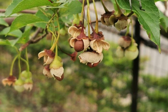 エゴノキという名前は、果皮を食べると苦みが強く喉にえぐみを感じることからついたといわれています。改めてエゴノキの実は、食べても何もいいことはないようです。  他にも別名のロクロギという名前は、エゴノキの木材がろくろ細工に使われたことに由来しているそうです。