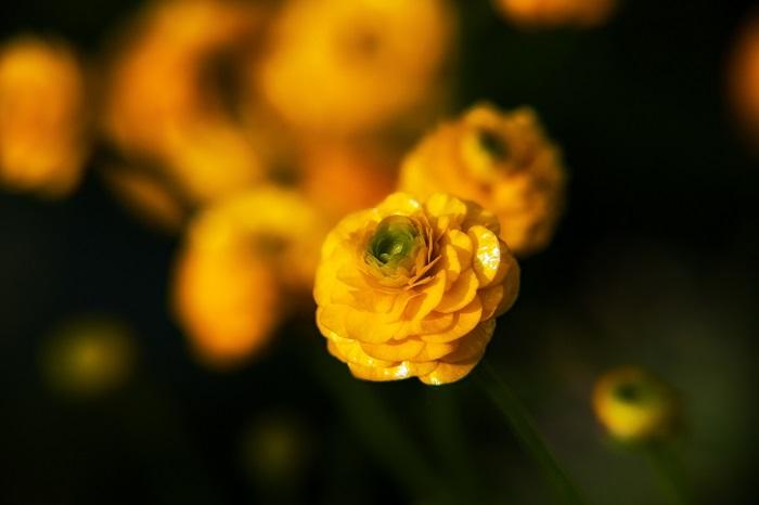 科名:キンポウゲ科 開花期:3~4月 分類:多年草(球根植物) ラナンキュラスの開花期は春です。花色は黄色の他に、赤、オレンジ、ピンク、紫、白、グリーン、複色等豊富です。ラナンキュラスの花は花びらが多くバラと見紛うほどの豪華さが特徴です。切り花のラナンキュラスは11月頃、まだ寒い冬の最中から出回り始めます。