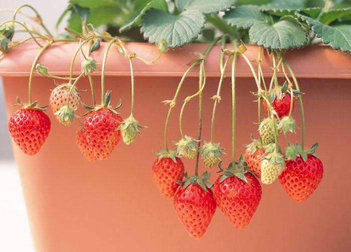 ・一度食べたら忘れられない「蜜」のような濃い甘さ ・熟すと強烈な甘い芳香。香りもおいしいイチゴ。 ・緻密な果肉! 甘い果汁を蓄えた真っ白で緻密な肉質。