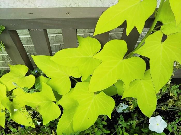 ヒルガオ科 非耐寒性多年草  草丈:15~20㎝  イポメアは野菜として栽培されるサツマイモの観賞用品種。葉色はライムの他、赤茶、黒褐色、ピンクを帯びた白斑などがあり、葉の形も豊富でハート形や紅葉のように深く切れ込んだタイプもあります。暑さに強く広い面積を覆うことができるので、夏の花壇や寄せ植えに重宝されます。寒さに弱いため日本では一年草扱いされていますが、挿し芽で小さな苗をつくっておき室内で越冬させ、翌春に植え付けることもできます。