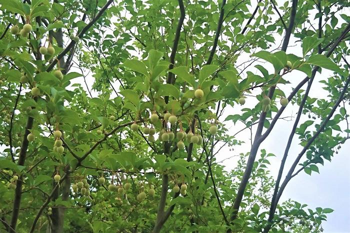 エゴノキの実は、夏から秋にかけて実ります。7月頃に直径約1㎝程度の卵型のグリーンの実を、枝いっぱいにぶら下げます。熟すに従い茶色く色付いていき、最後には果皮が裂けて中から黒に近い茶色の種子が出てきます。  エゴノキの実の果皮にはエゴサポニンという有毒成分が含まれているといわれています。そうでなくても食べておいしい果実ではないので、間違って食べないようにしましょう。  エゴノキの果皮ではなく種子は脂質を多く含んでいるらしく、ヤマガラなどの野鳥が好んで食べるそうです。毒はなくても野鳥の大切な栄養源を奪うことのないように、種子も食べないほうがいいでしょう。