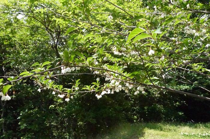 エゴノキは春の新緑、初夏の花、夏から秋の結実と、春から秋まで美しい姿を見られる庭木です。さらに株立ちのエゴノキは華奢で軽やかな樹形が美しく、風が抜けるような雰囲気を演出します。  冬には落葉して株元の植物に日光を当て、春から秋までは庭に日陰を作り、家族が寛ぐ場所を提供してくれます。さらに丈夫であまり手間もかからずに管理できます。  シンボルツリーに迷っていたら、エゴノキはいかがでしょうか。庭に出る楽しみが増えそうです。