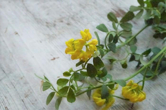 科名:マメ科 開花期:3~5月 分類:常緑低木 コロニラは黄色の蓮華のような花を咲かせる常緑低木です。しなやかな花茎の先に直径2㎝程度のマメの花の集合体を咲かせます。葉に白斑が入った品種はより明るい印象を与えます。