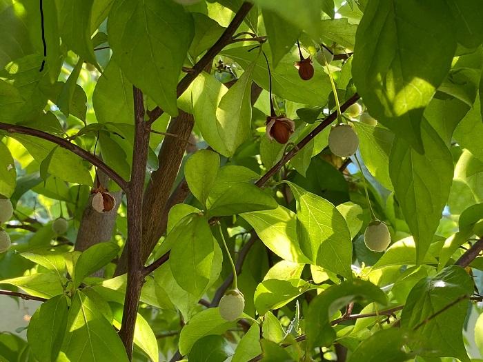 エゴノキの果皮ではなく種子は脂質を多く含んでいるらしく、ヤマガラなどの野鳥が好んで食べるそうです。毒はなくても野鳥の大切な栄養源を奪うことのないように、種子も食べないほうがいいでしょう。