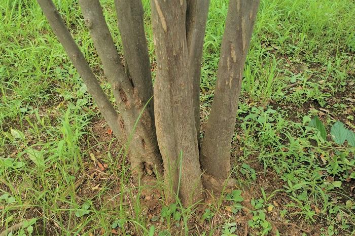 エゴノキは、しっかりとした固さのある幹と灰褐色の樹皮を持った、力強い印象を受ける庭木です。ところがエゴノキを株立ちに仕立てると、ほっそりとした幹が数本かたまっている様子から華奢な雰囲気に様変わりします。  株立ちのエゴノキはその華奢な雰囲気と、風が抜けるような軽やかさから雑木林風の植栽や庭園などに好まれます。個人邸でも株立ちのエゴノキはナチュラルな雰囲気を演出できるので、シンボルツリーとして人気があります。