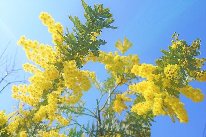 科名:マメ科 開花期:3~4月 分類:常緑高木 ミモザは桜(ソメイヨシノ)よりも少し早く、明るい黄色の花を咲かせる常緑高木です。ミモザのふわふわとして羽毛のような花はとても愛らしくて人気があります。ミモザは香りがよいのも特徴です。