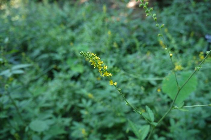 科名:バラ科 開花期:7~10月 分類:多年草 キンミズヒキは夏から秋まで咲き続ける多年草です。赤や白の花を付けるミズヒキはタデ科の植物なので別種です。キンミズヒキはすっと伸びた華奢な茎の先に小さな花を房状に咲かせます。