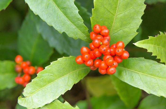 分類:常緑低木 結実期:11月~1月 千両(センリョウ)は冬に真赤な実を付ける、センリョウ科の常緑低木です。万両(マンリョウ)との見分け方は、千両(センリョウ)は枝の先端に上向きに粒々とした赤い実を付けます。対して万両(マンリョウ)は枝から下げるように実を付けます。実の付き方で、見分けられます。