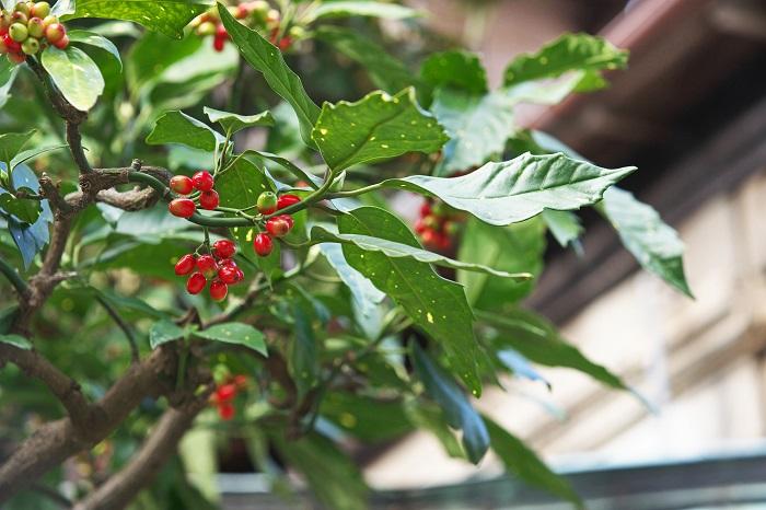 分類:常緑低木 結実期:12月~4月 アオキは耐陰性の強い、アオキ科の常緑低木です。葉が大きく光沢があり深いグリーンをしています。斑入り種などもあります。日当たりの悪い場所で元気に育ってくれる、シェードガーデンの味方です。冬にはアーモンド形の赤い実を付けます。